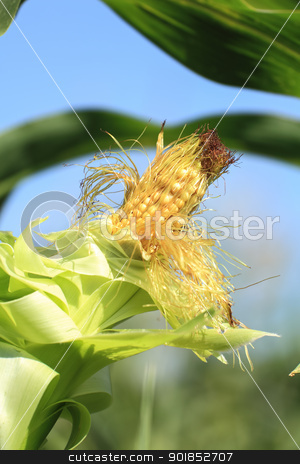 Ear of corn closeup stock photo, Ear of corn closeup in the sky by fogen