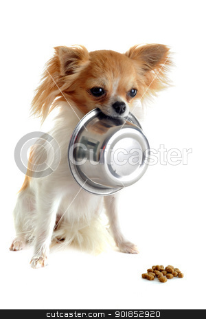 puppy chihuahua and food bowl stock photo, portrait of a cute purebred  puppy chihuahua and his food bowl by Bonzami Emmanuelle