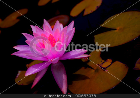Lilly stock photo, A beautiful bright pink lilly surrounded by lilly pads. by Cassidy