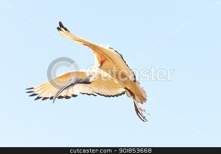 A Crane in flight stock photo, A Crane in flight frozen in mid air by derejeb
