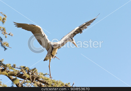 A Crane landing stock photo, A Crane in flight frozen in mid air as it is about to land by derejeb