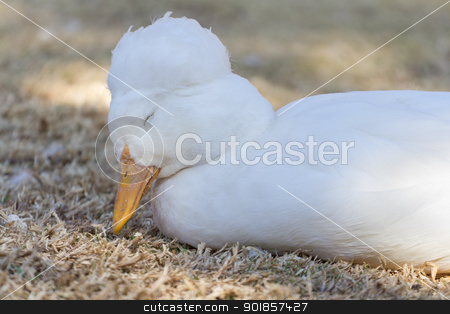 Sleepy duck stock photo, A beautiful little sleepy duck of the anatidae family by derejeb