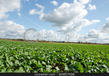 Rape rapeseed agriculture field in autumn clouds  stock photo, Rape rapeseed agriculture field in autumn and sky with cumulus clouds.  by sauletas