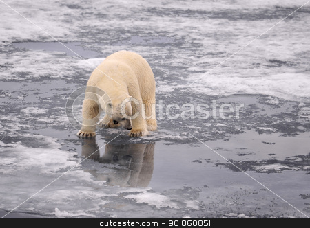 Polar Bear stock photo, Polar Bear on the ice, Spitsbergen 2012 by Vladimir Seliverstov