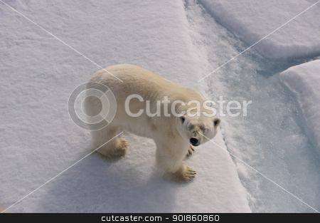 Polar Bear stock photo, Polar Bear on the ice < Spitsbergen 2012 by Vladimir Seliverstov