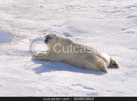 Polar Bear stock photo, Polar Bear on the ice < Spitsbergen 2012 by Vladimir Seliverstov