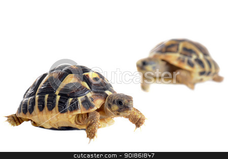 young Tortoises  stock photo, Two tortoises isolated on a white isolated background, focus on the first by Bonzami Emmanuelle