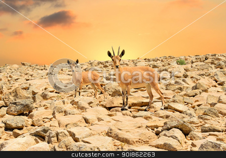 Ibexes and sunset stock photo, Ibex-mother and young ibex on rocky mountains by lermannika