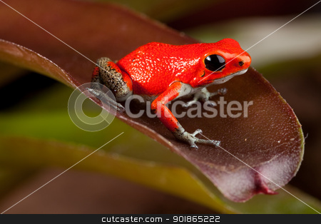 red frog stock photo, red frog, oophaga pumiio or strawberry poison dart frog of Panama and Costa Rica by Dirk Ercken