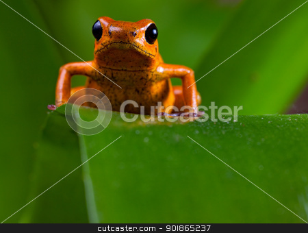 red poison dart frog stock photo, Poison frog of tropical rainforest in Panama and osta Rica by Dirk Ercken