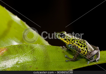 poison dart frog stock photo, rainforest animal poison dart frog of tropical rain forest jungle in Panama by Dirk Ercken