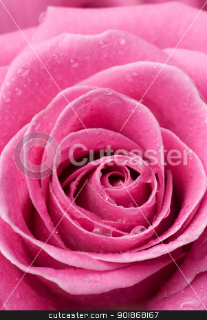 Pink rose detail. stock photo, Pink rose with drops of water. by Piotr Skubisz