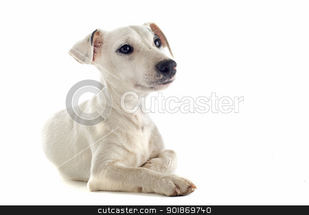 puppy jack russel terrier stock photo, portrait of a puppy purebred jack russel terrier in studio by Bonzami Emmanuelle