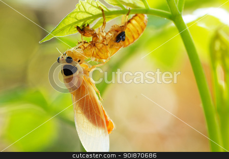 cicada on tree stock photo, cicada changing its skin in the rainforest by prajit48