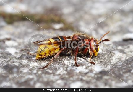giant hornet stock photo, Closeup of the giant hornet by Siloto