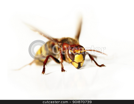 giant hornet stock photo, Close-up (macro) of the giant hornet by Siloto