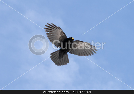 Bird In French Alps stock photo, Bird of prey, hovering and ready to swoop by Paul Murray Photography
