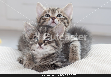 He's my brother stock photo, Two young kittens protecting each other by Paul Murray Photography