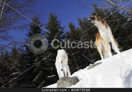 borzoi dogs, russian sight-hounds stock photo, giant borzoi dogs, russian sight-hounds, famous for old russian woolf hunting and modern dog racing by lagereek