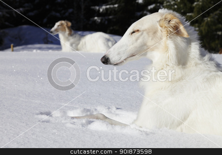 borzoi dogs, russian sight-hounds stock photo, large borzoi dogs, russian sight-hounds, famous for old russian woolf hunting and modern dog racing by lagereek