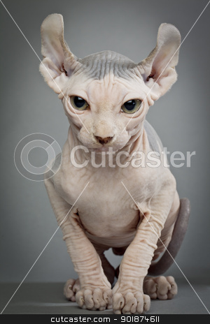 hairless cat with wrinkles stock photo, hairless cat with wrinkles by Rusu Grigore
