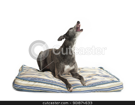 howling greyhound stock photo, howling greyhound by Rusu Grigore