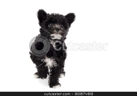 shih tzu walking on white stock photo, shih tzu walking on white by Rusu Grigore