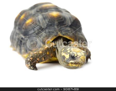 turtle stock photo, turtle by Rusu Grigore
