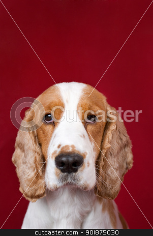 Cocker Spaniel series. stock photo, Mug shot like portrait of guilty, abandoned spaniel . Red copy space over head, intentional slight vignetting, selective focus on the eyes. by Piotr Skubisz