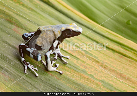 poison dart frog stock photo, frog in tropical Amazon rainforest, poison dart frog, exotic animal of rain forest in French Guyana,Suriname, and Brazil by Dirk Ercken