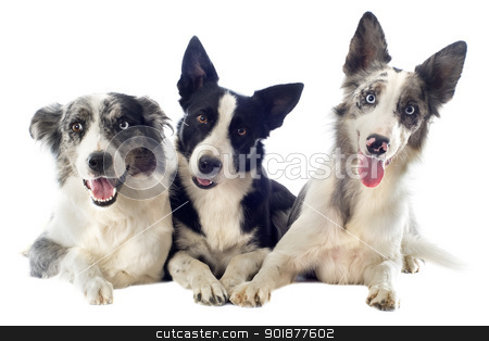border collies stock photo, portrait of purebred border collies in front of white background by Bonzami Emmanuelle