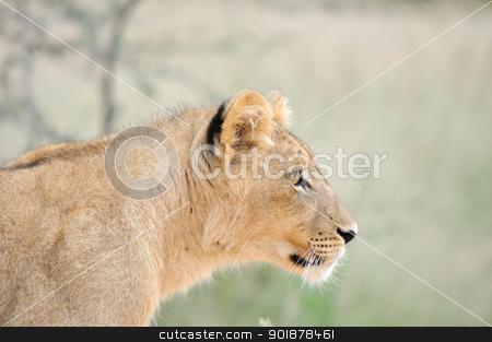 Lion cub in the Kalahari stock photo, A lion cub, Kgalagadi Transfrontier Park. by Grobler du Preez