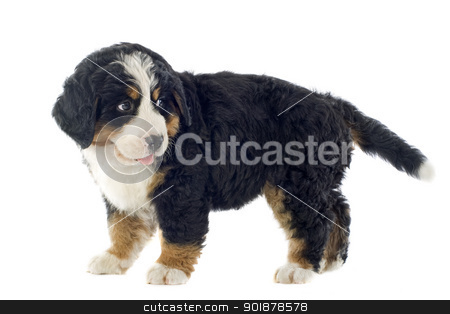 puppy bernese moutain dog stock photo, portrait of a purebred bernese mountain dog in front of white background by Bonzami Emmanuelle