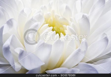 Chrysanthemum stock photo, Beautiful white chrysanthemum close up by Alexey Popov