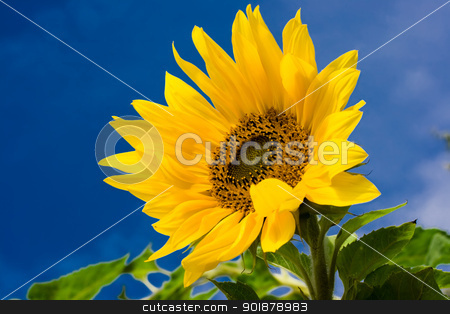 sunflower stock photo, bright sunflower under blue sky by Alexey Popov