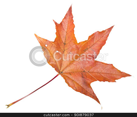 Maple stock photo, Maple leaf isolated on white by Alexey Popov