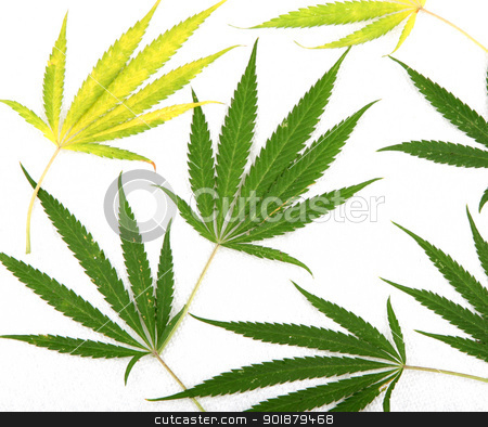 Cannabis stock photo, Cannabis. by Nenov Brothers Images