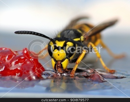Wasp eating jelly stock photo, A close-up of a wasp eating jelly. by Volker Pape