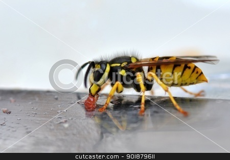 Wasp eating jelly II stock photo, Wasp on a knife eating jelly. by Volker Pape