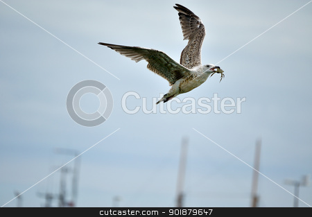 Seagull with crab in its beak stock photo, A flying seagull with crab in its beak. by Volker Pape