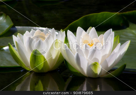 Two Water Lilly Flowers stock photo, Two Water Lilly Flowers open to the sun by Ken Wolter