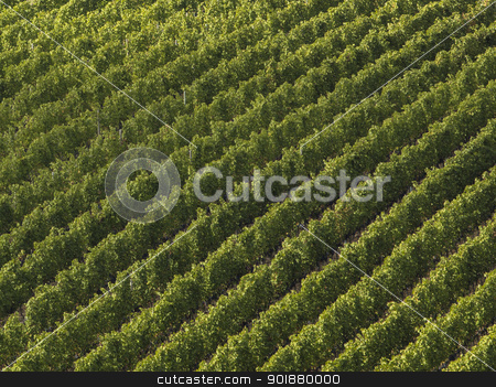 aerial view on a vineyard in tuscany stock photo, aerial view on a vineyard in tuscany by Dunning Adam Kyle