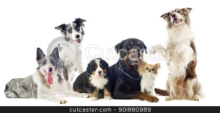 dogs stock photo, portrait of a group of dogs in front of white background by Bonzami Emmanuelle