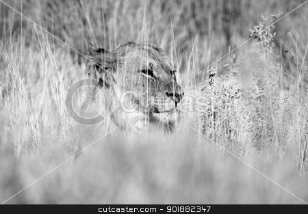 Black and white lion in the grass stock photo, A black and white Lion in the Etosha National Park, Namibia by Grobler du Preez