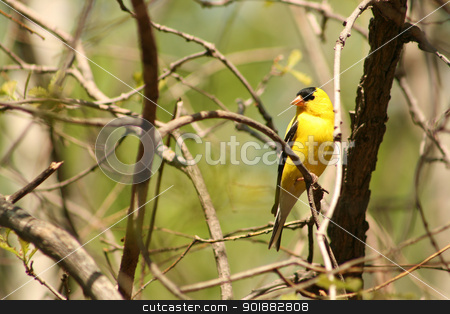 American Goldfinch Perched on a Tree Branch stock photo, a yellow and black American Goldfinch perched on a tree branch in spring in Winnipeg, Manitoba, Canada by Robert Hamm