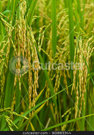 Close-up of paddy field stock photo,  by boonsom