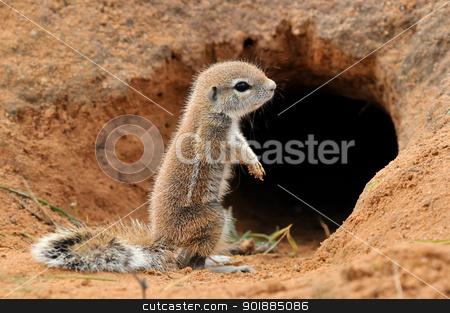 Cape Ground Squirrel stock photo, Cape Ground Squirrel (Xerus Inauris). Photo taken at Mata Mata in the Kgalagadi Transfrontier Park, South Africa by Grobler du Preez