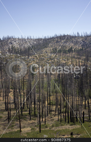 Burned trees in the forest stock photo, forest pine trees that have been in a forest fire. by Jeremy Baumann