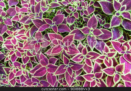 Coleus Leaves stock photo, The purple and green leaves of a Coleus plant by Brian Guest