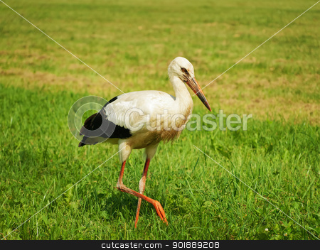 Stork stock photo, Lonely stork at the green field in summer day by Sergej Razvodovskij